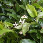 Blühender Jasmin im Januar