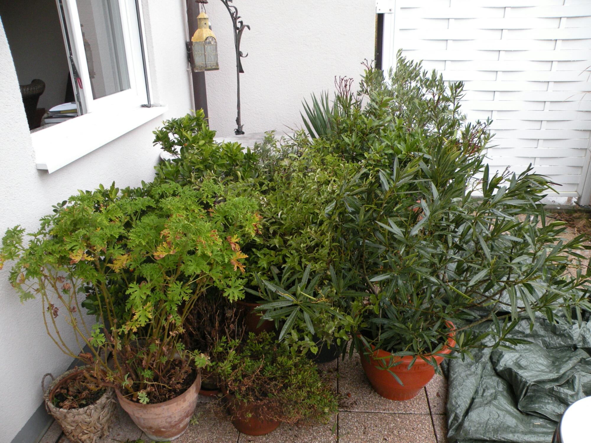 Kübelpflanzen mit bereitliegender Abdeckplane
