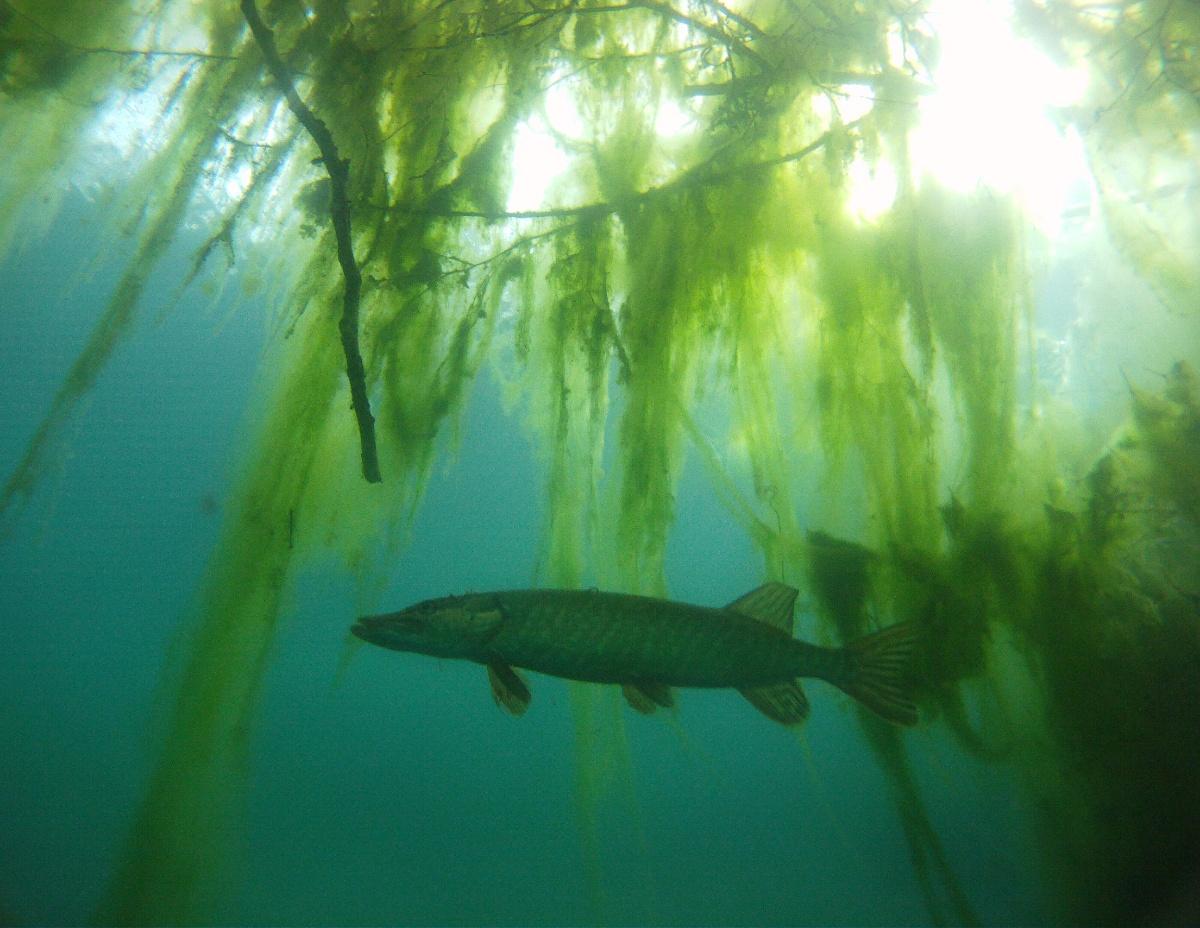 Großer Hecht vor Algen