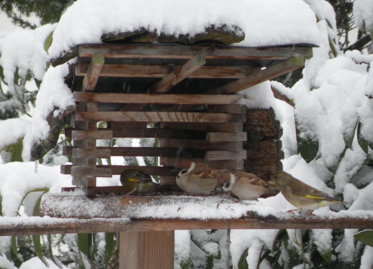 Grünfinken und Feldsperlinge im Futterhaus