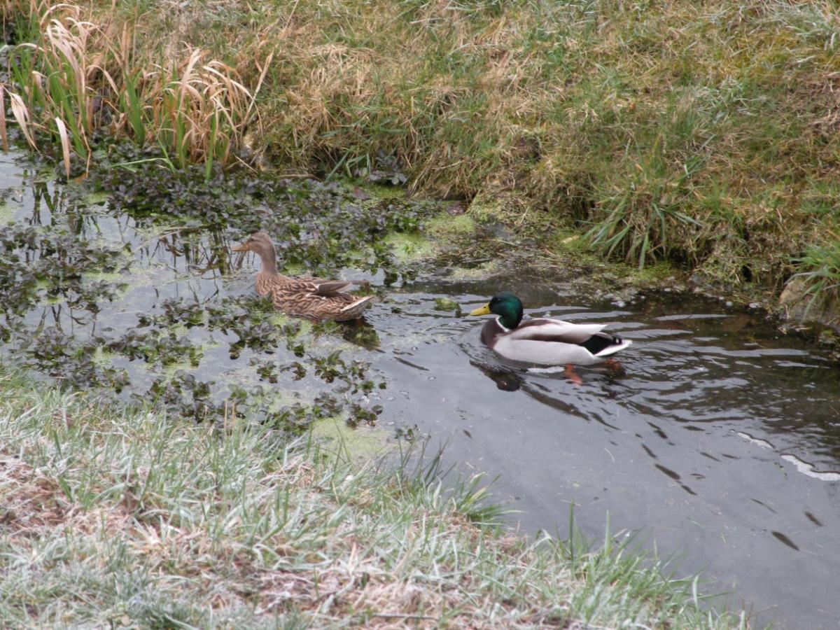Enten schwimmen im Bach davon