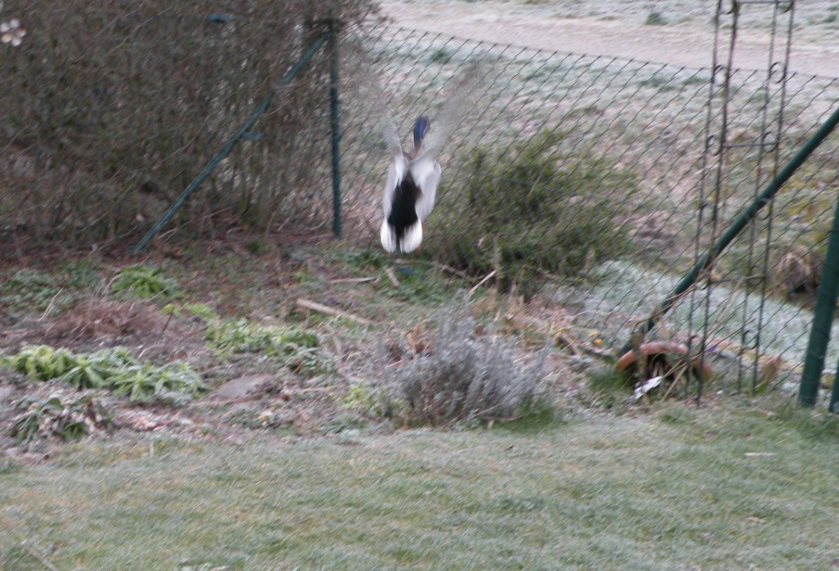 Ente fliegt weg