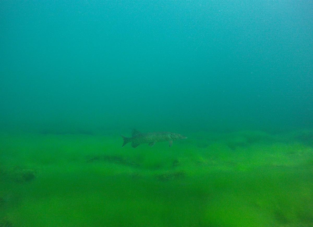Hecht vor grün (Wasserpflanzen) - blauem (Wasser) Hintergrund