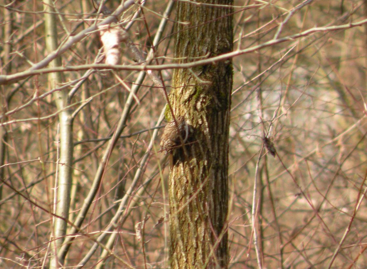 Waldbaumläufer am Stamm