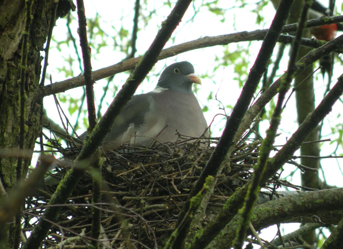 Brütende Taube auf einem Baum am Amperufer