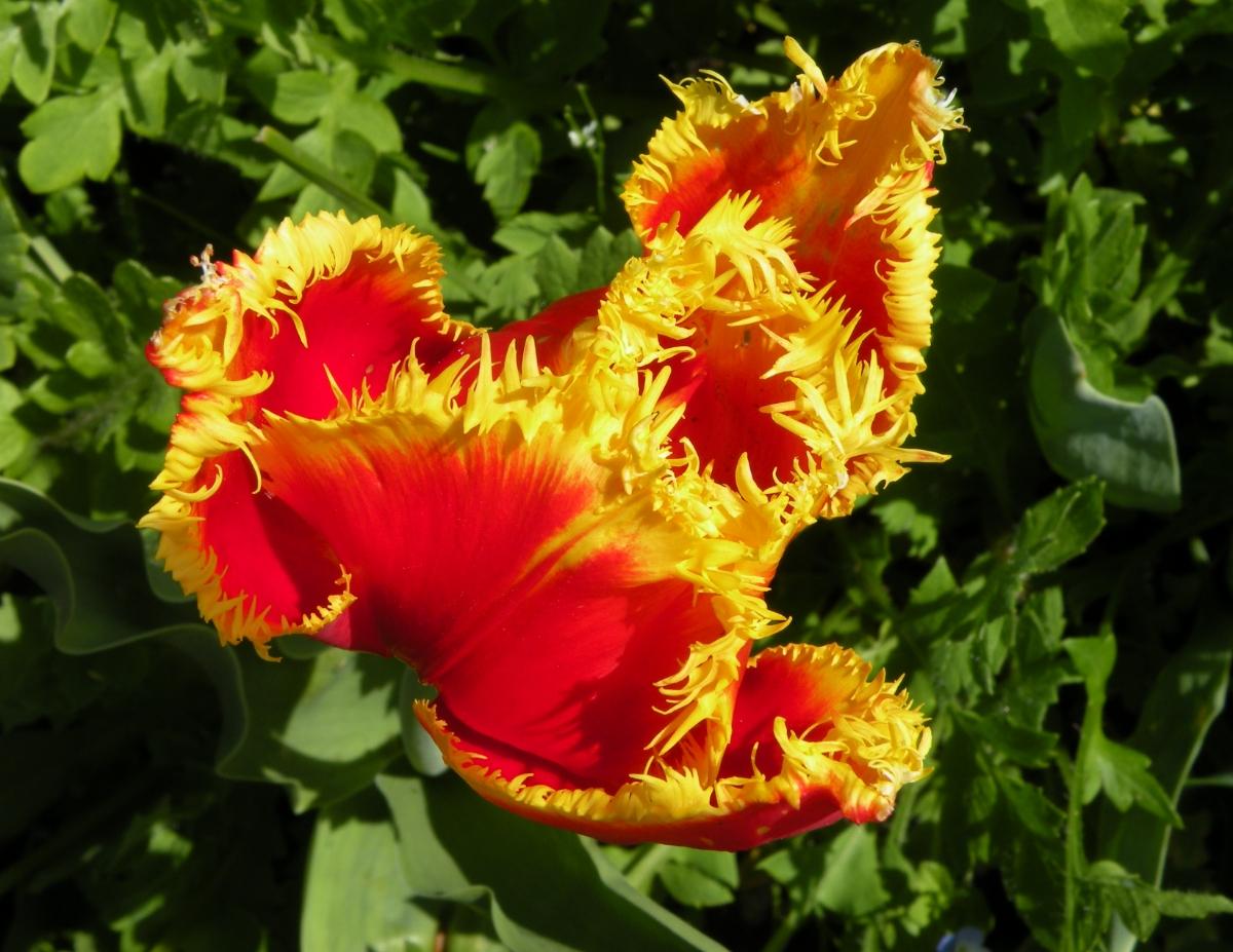 gelb-rote, nicht ganz aufgeblühte Tulpe
