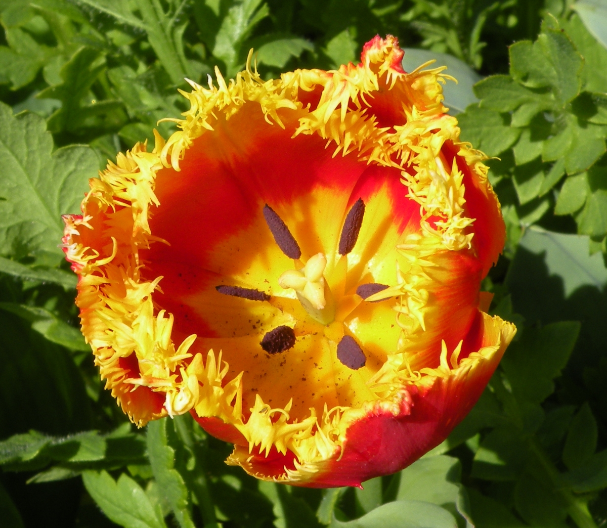 Aufgeblühte gelb-rote Tulpe