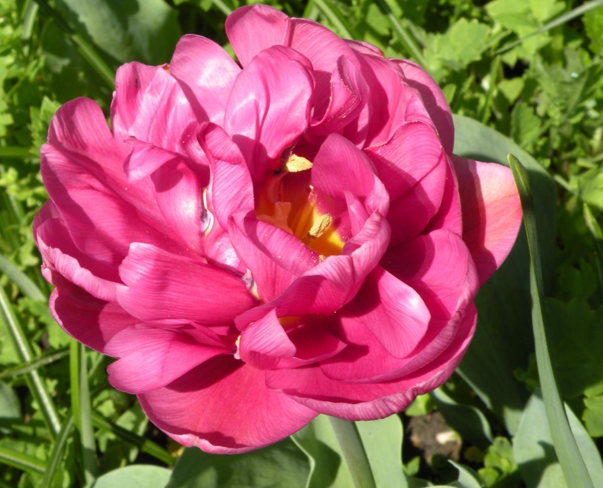 """Tulpe mit """"alternativen"""" Blütenblättern"""