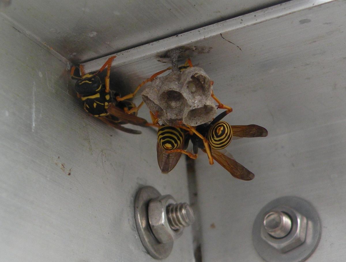 Drei Wespen bauen ein Wabennest