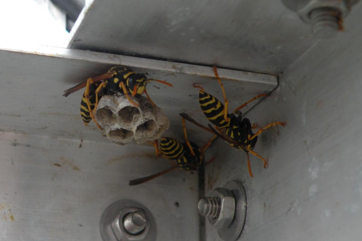 Drei Wespen bauen ein weiteres Nest