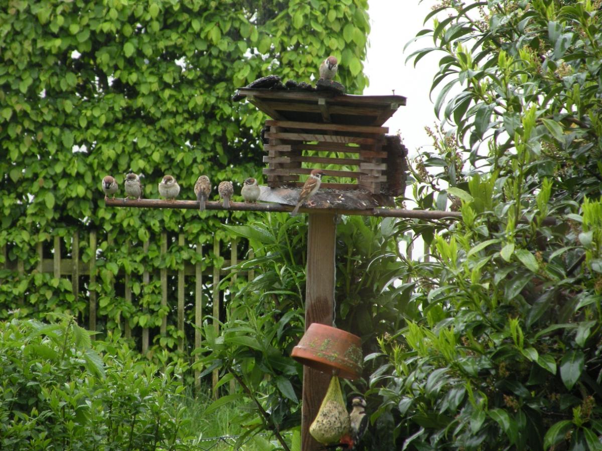 Acht Spatzen und ein Buntspecht am Vogelhaus