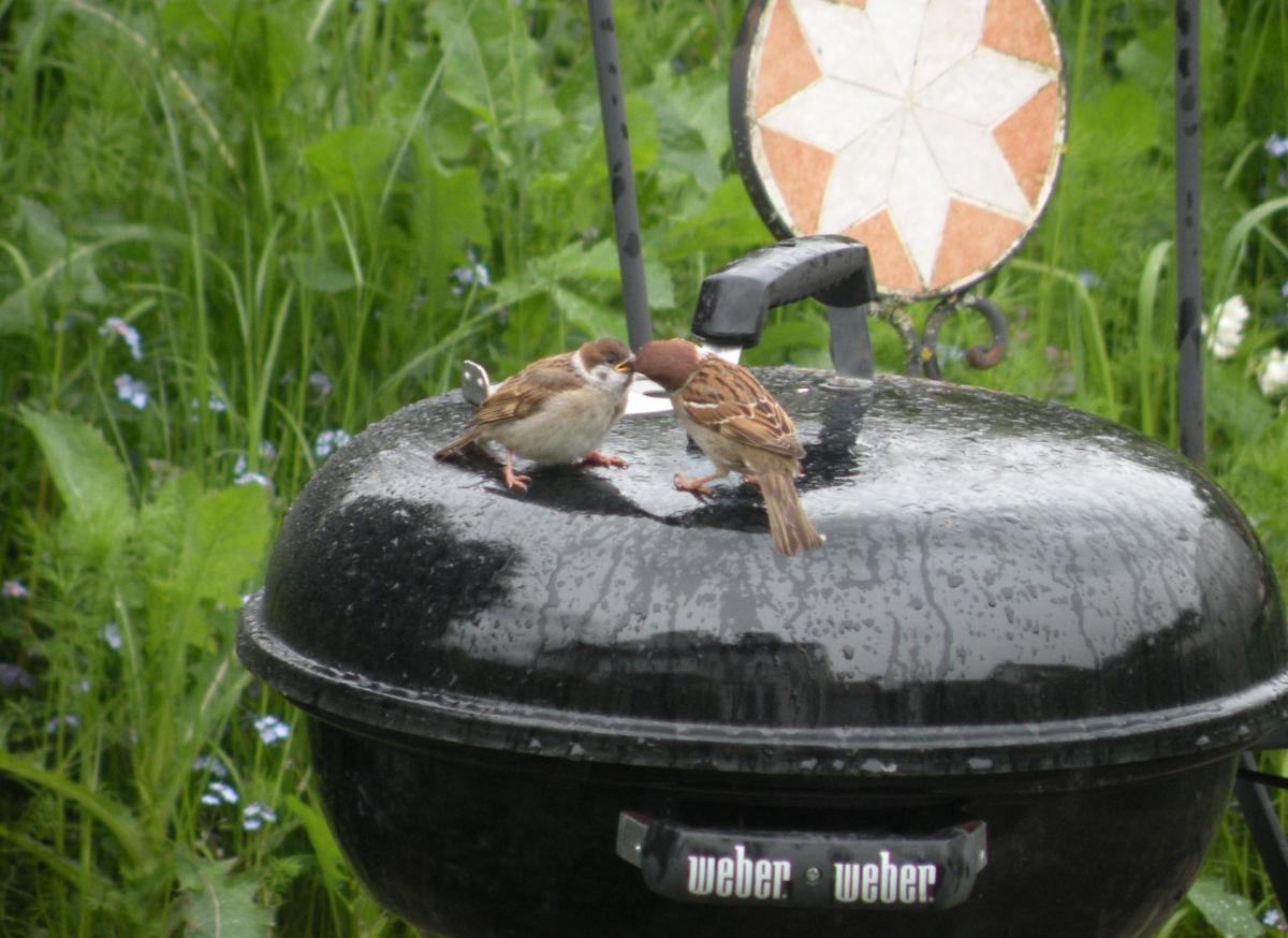 Zwei Spatzen auf dem Weber-Grill