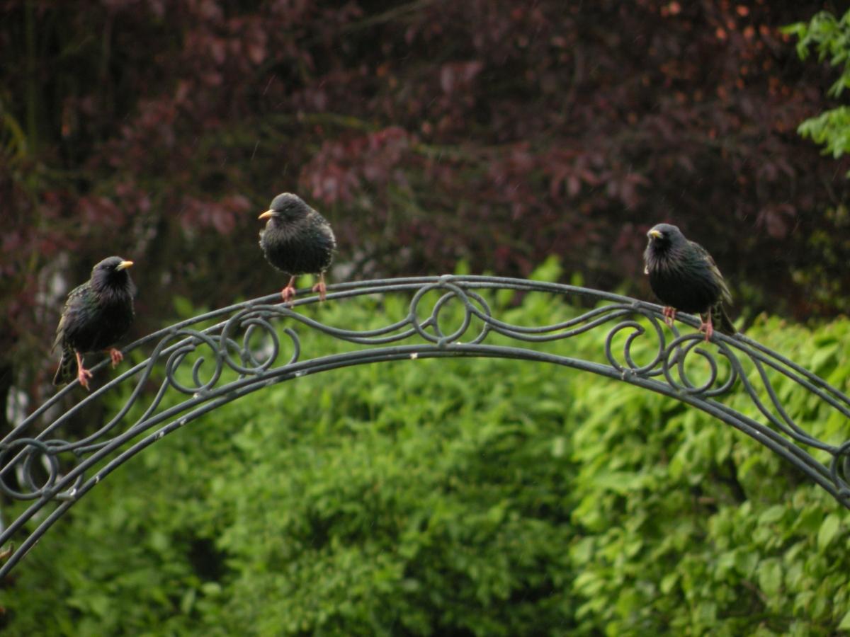 Drei Stare auf Rosenbogen