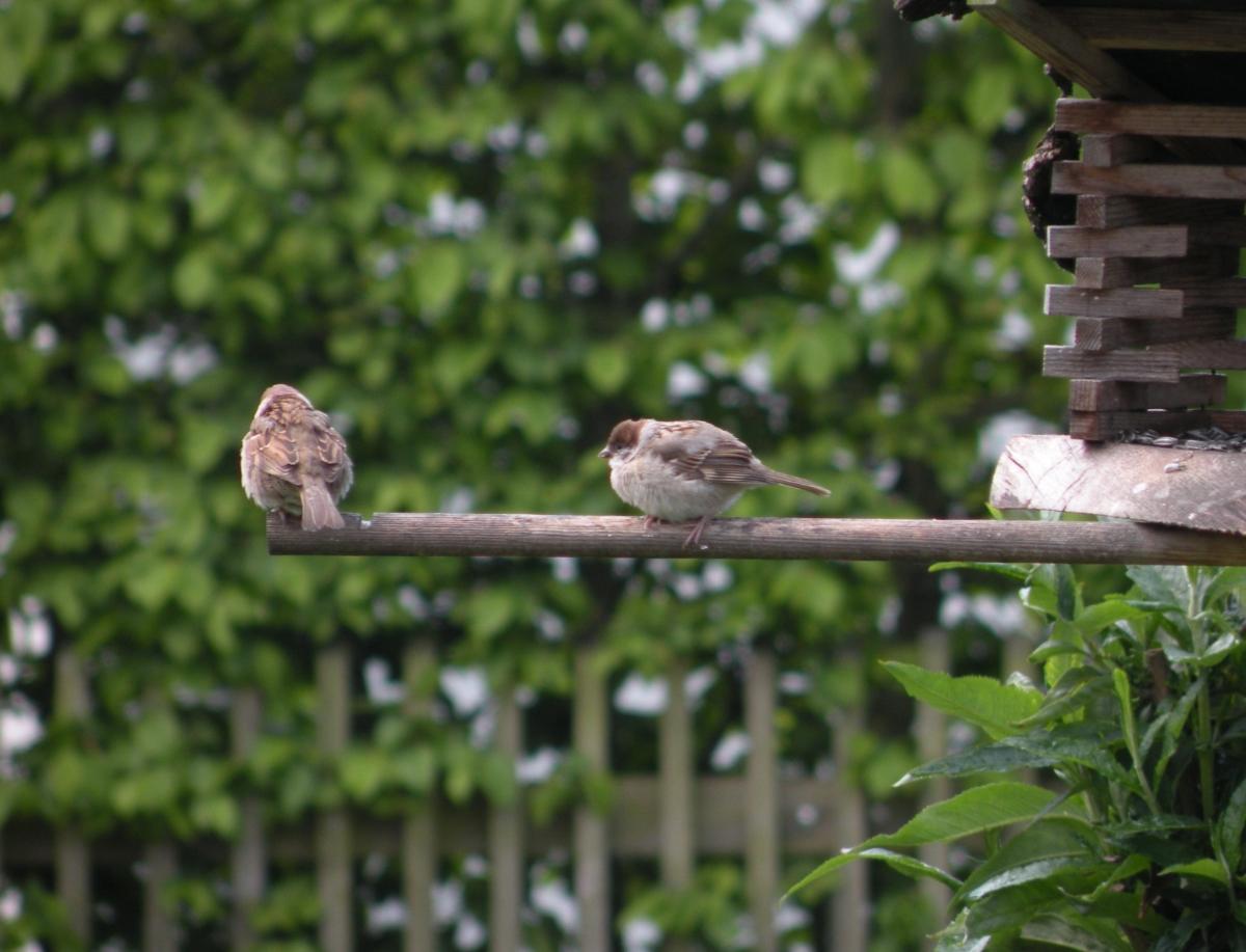 Spatzenjunges am Vogelhaus