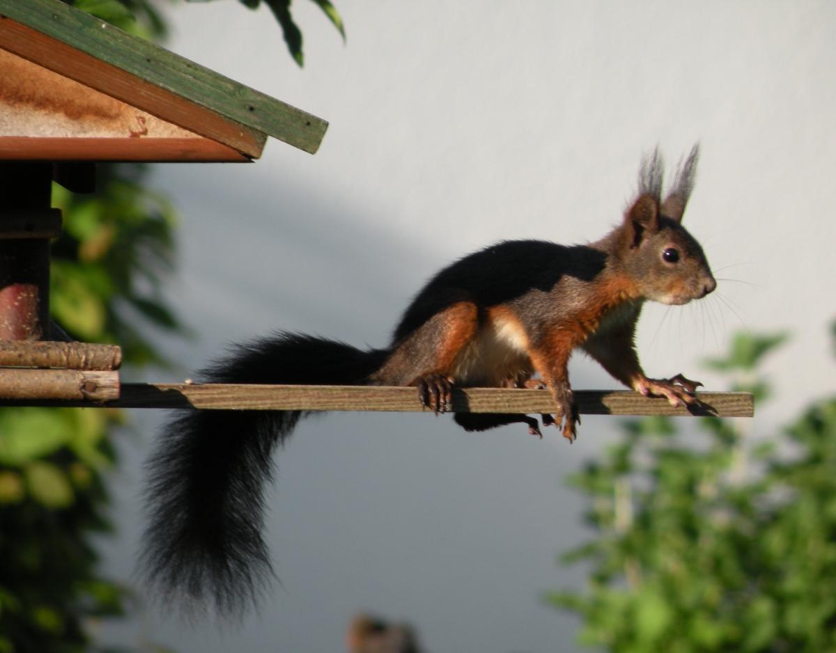 Eichhörnchen auf der Stange des Vogelhauses
