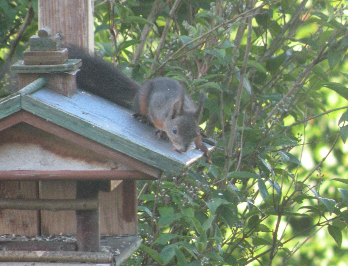 Eichhörnchen auf dem Vogelhaus