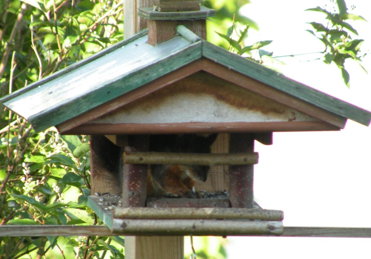 Eichhörnchen im Vogelhaus beim Fressen