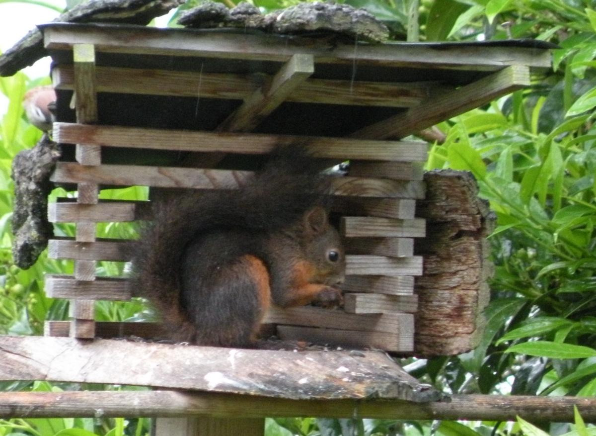 Eichhörnchen im zweiten Vogelhaus