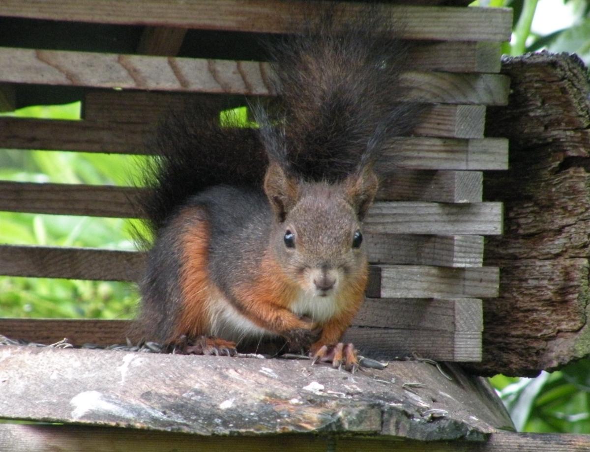 Aus ca.n3m Entfernung photographiertes Eichhörnchen