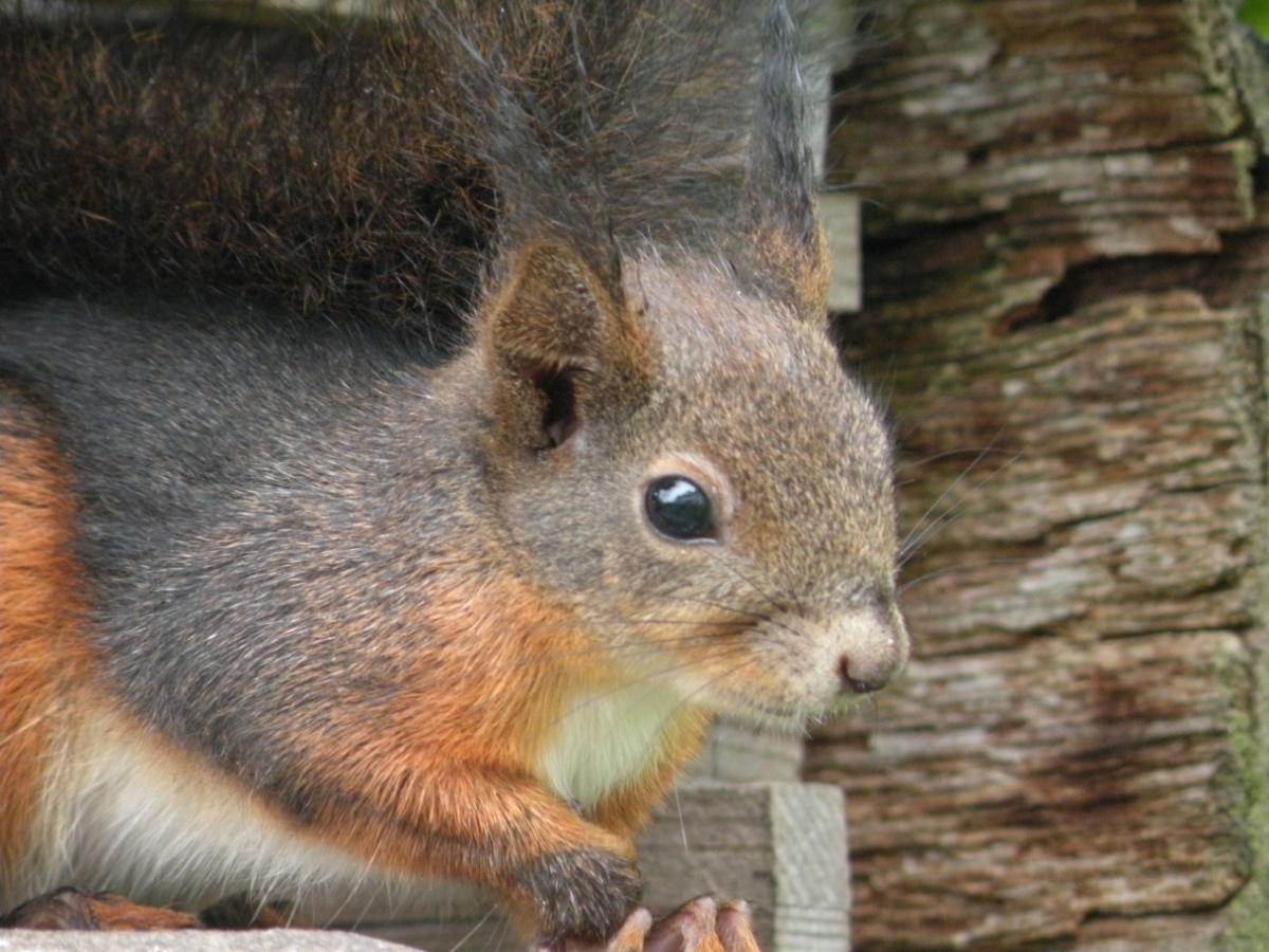 Portraitaufnahme des Eichhörnchens