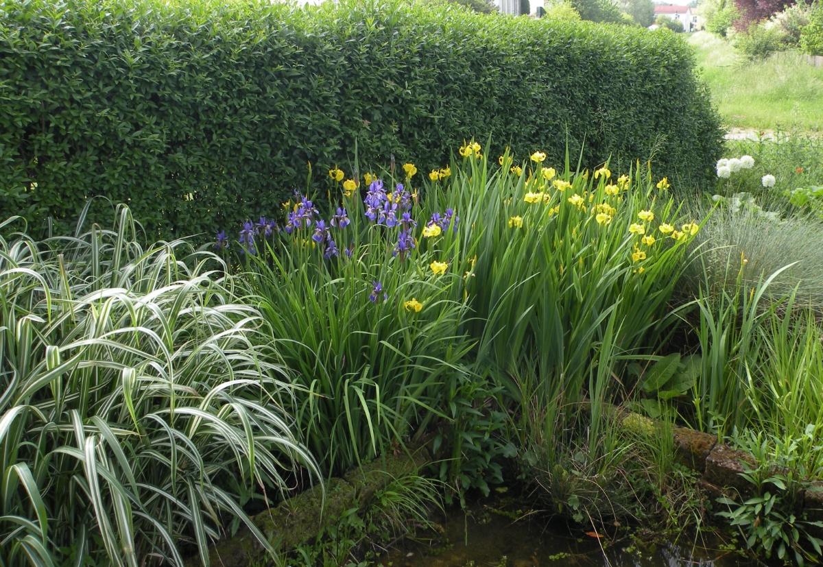 Sumpflilien am Teichrand