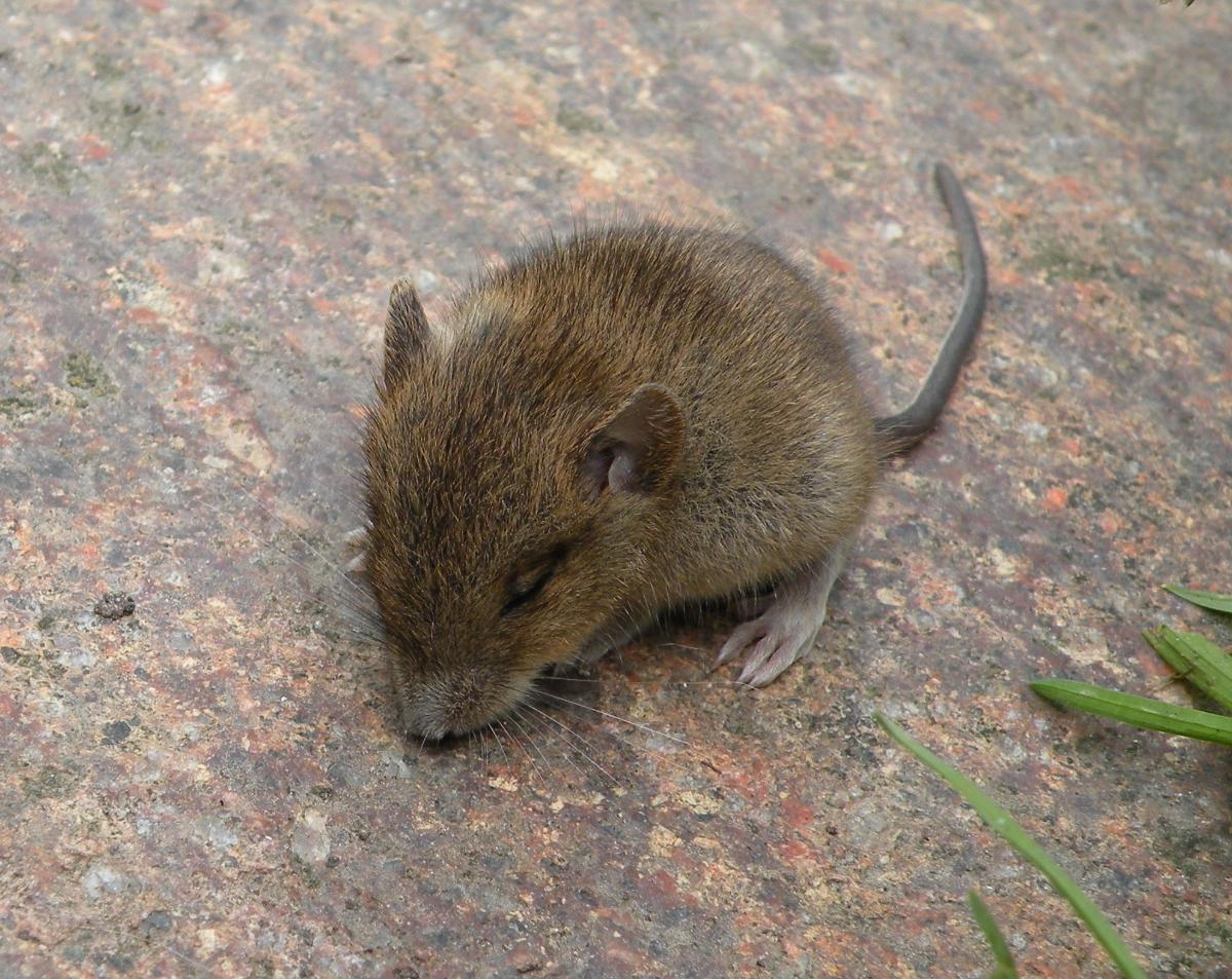 Kleine Maus auf Trittstein
