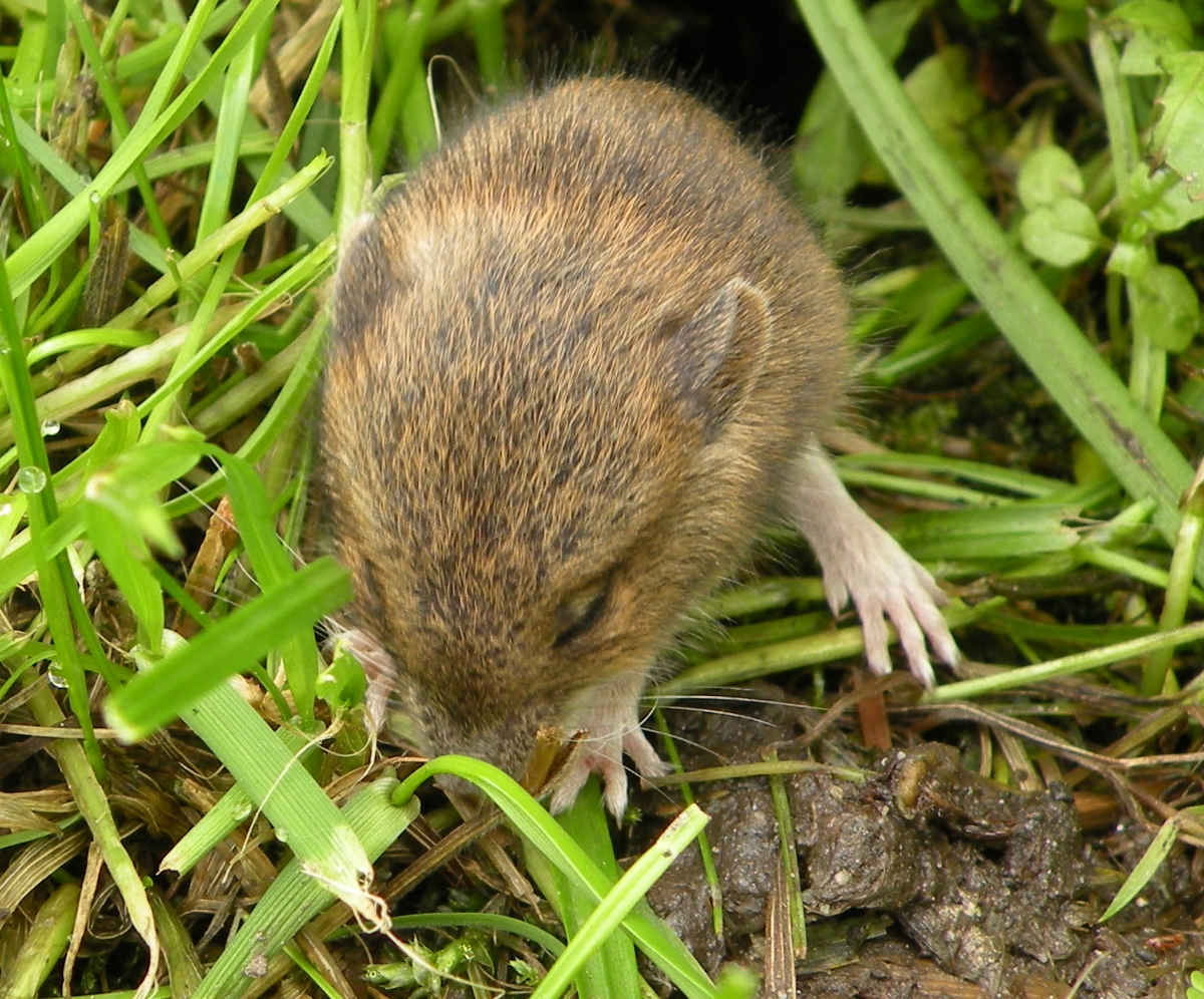 Kleine Maus vor dem Tomatenhaus