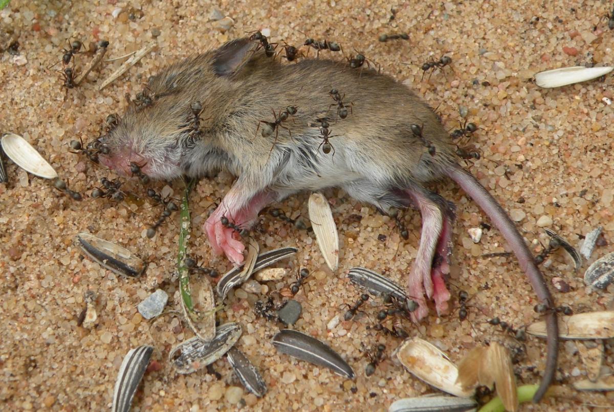 Fast tote Maus mit Ameisen übersät