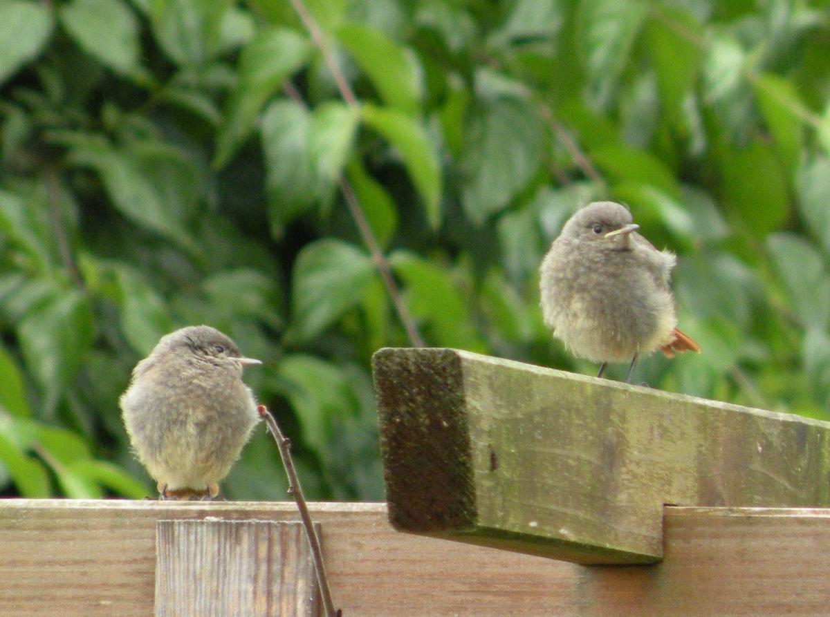 Zwei jungen Gartenrotschwänze