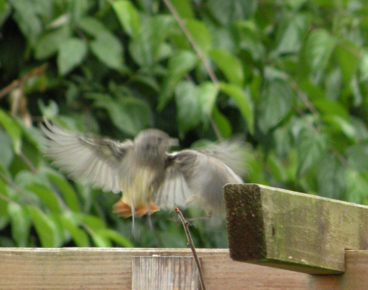 Junger Gartenrotschwanz beim Abflug