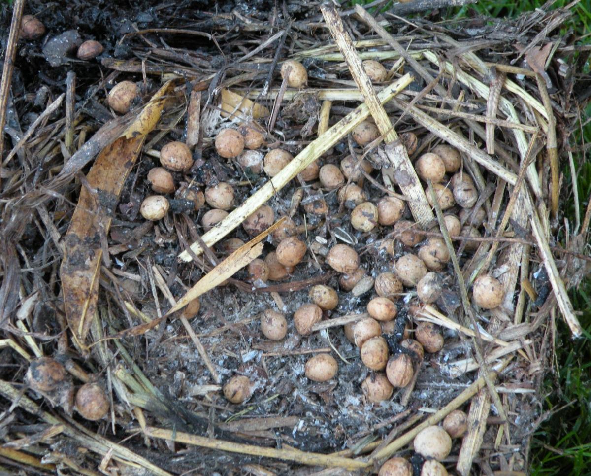 Starennest voller Kirschkerne
