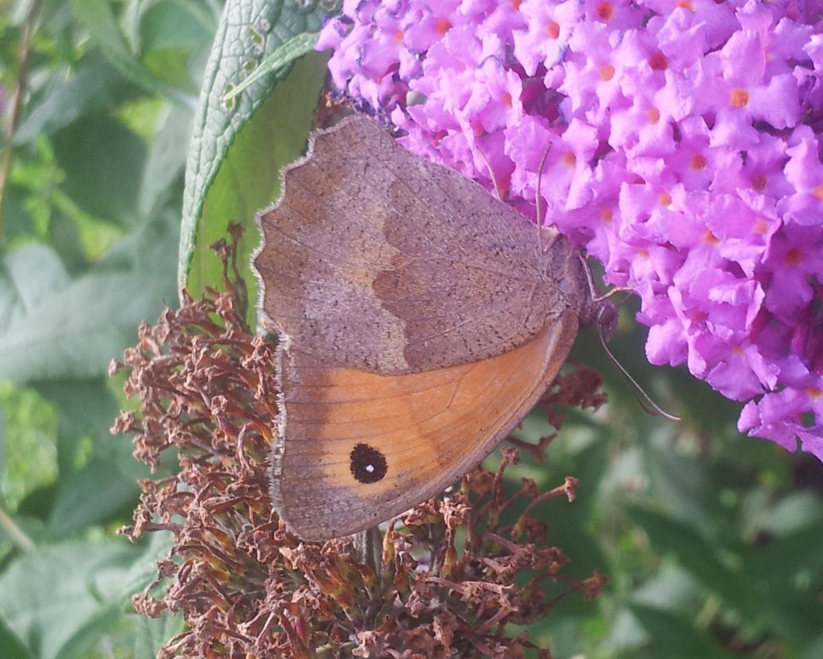 Schmetterling Kleines Wiesenvögelchen