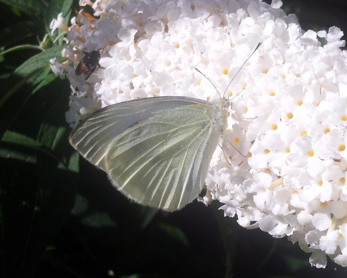 Schmetterling Kohlweißling