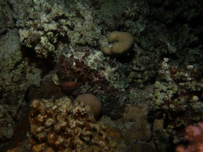 Roter Krake (Octopus)