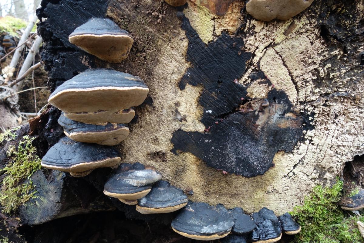 Blau-scharze Baumpilze an einem umgesägten Baumstamm