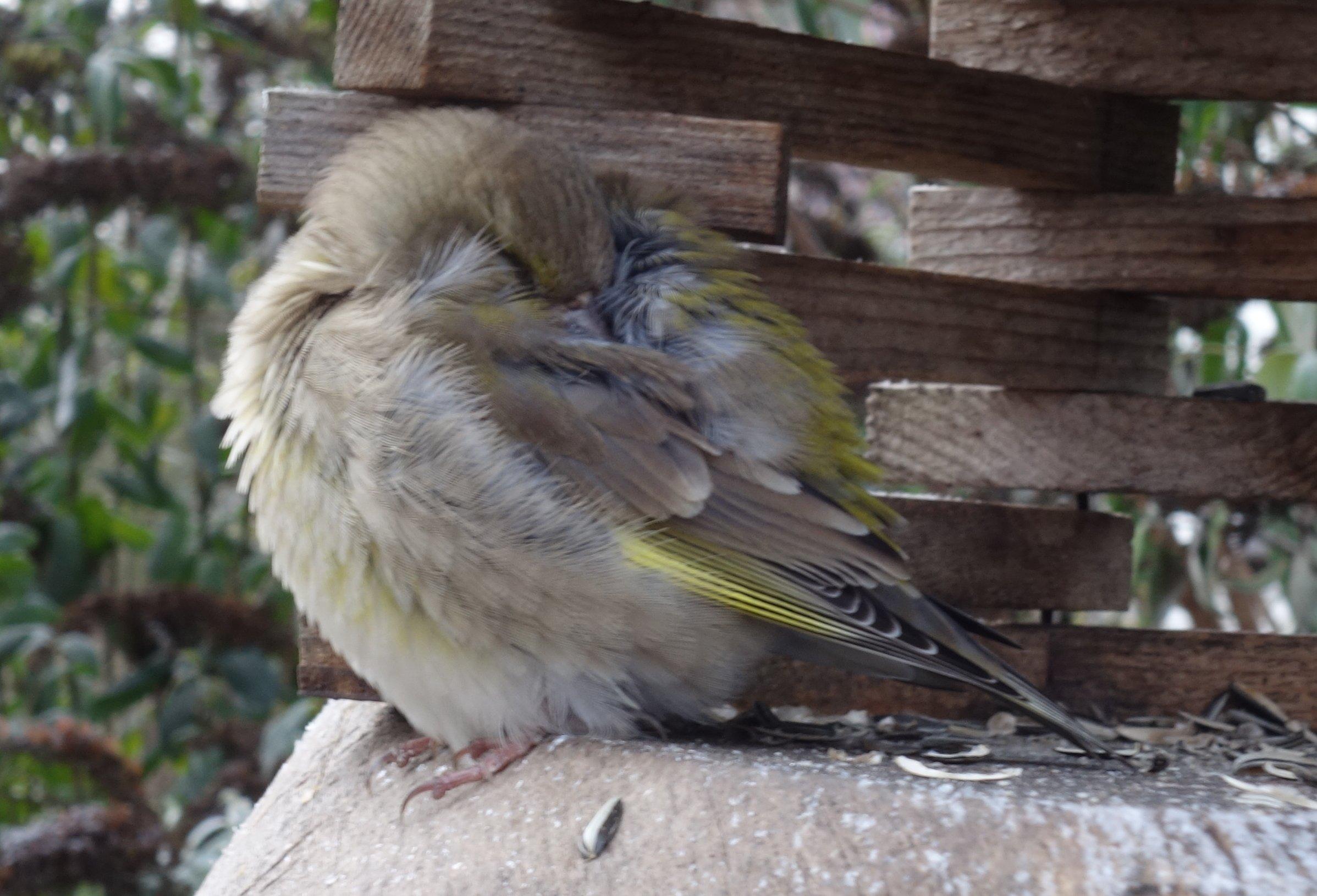 Sterbenskranker Grünfink im Vogelhaus