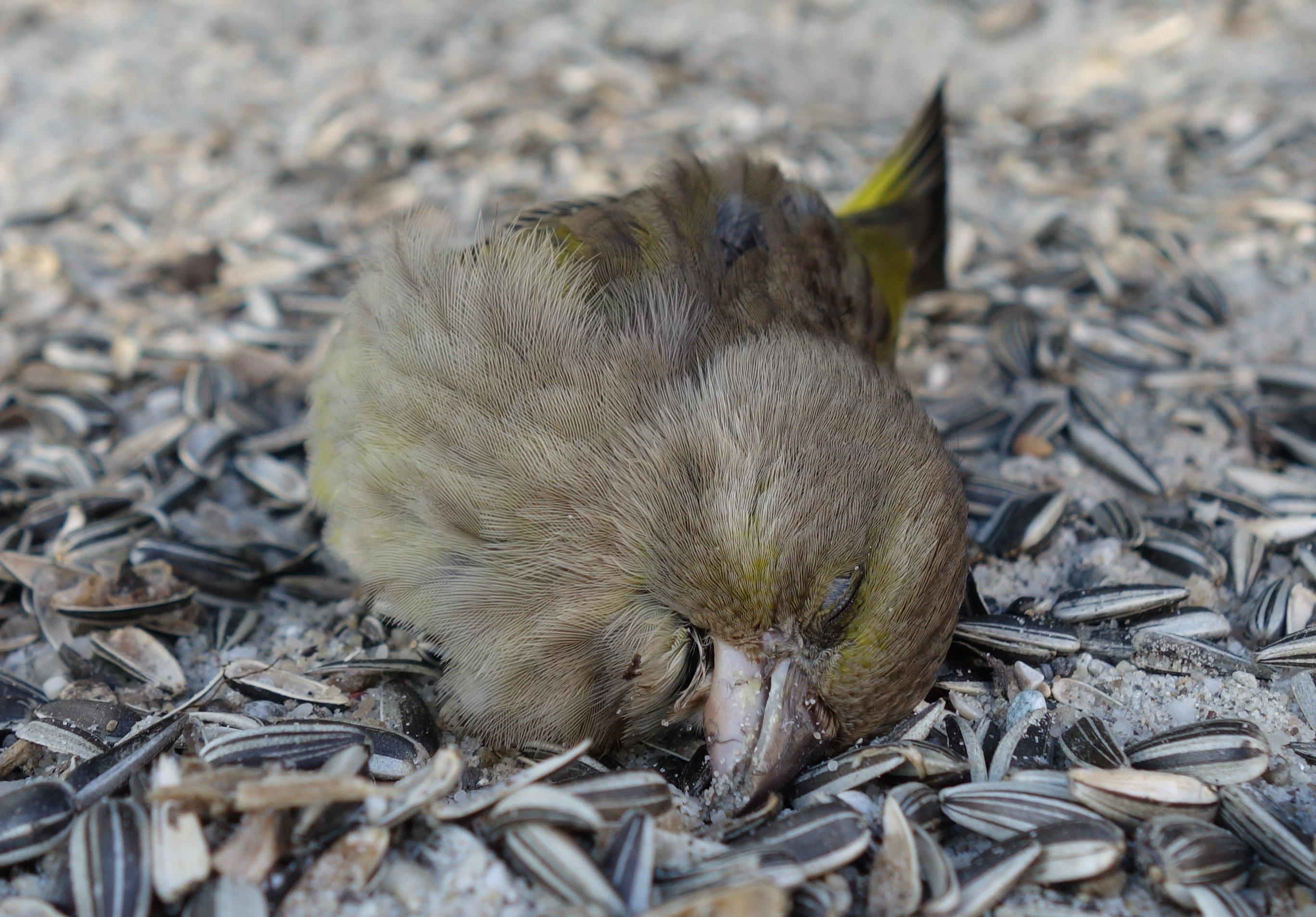 Toter Grünfink unter dem Vogelhaus