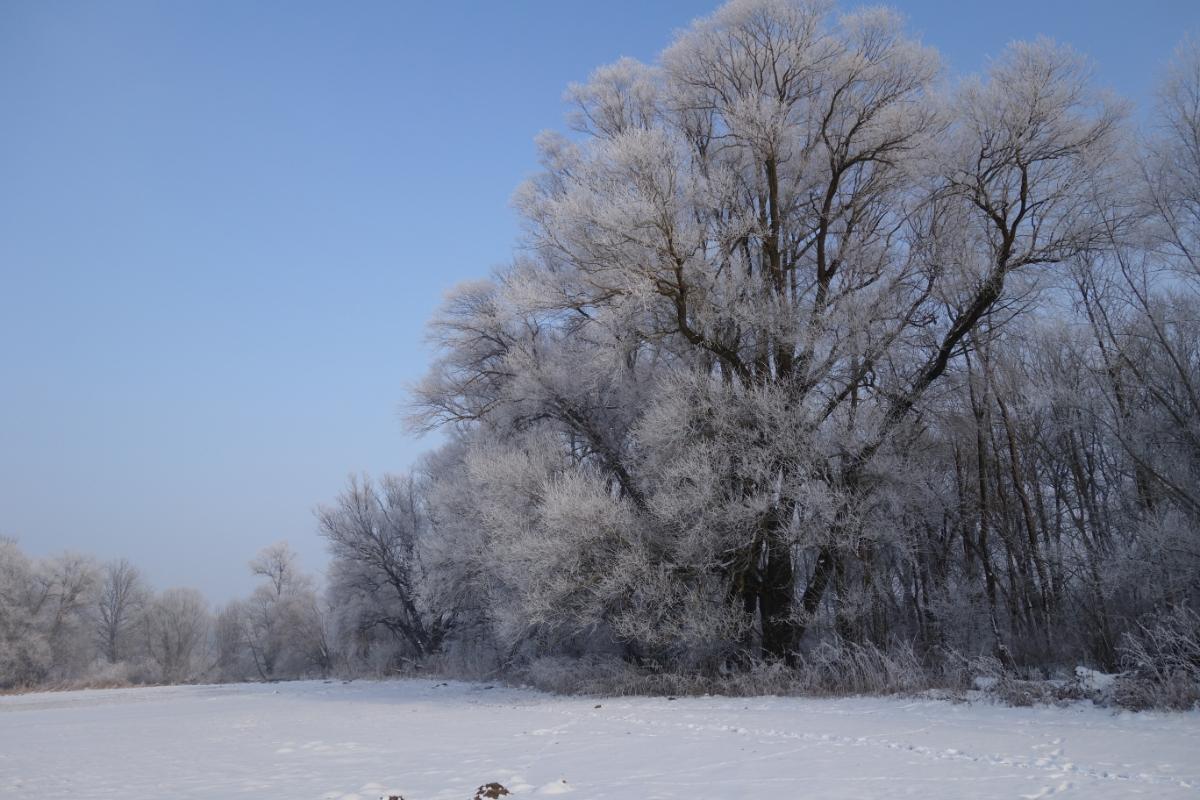 Großer, raureif-überzogener Baum am Amperufer
