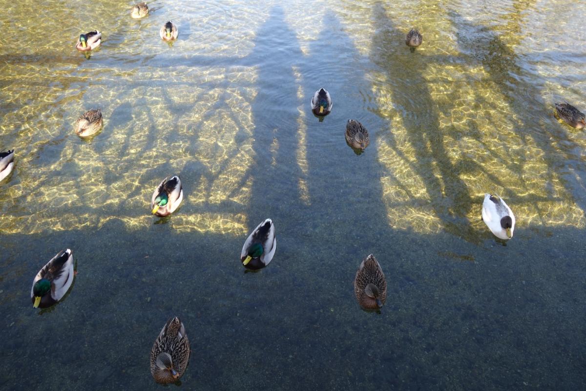 Enten auf dem Nymphenburger Kanal