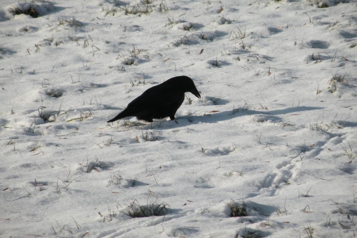 Krähe im Schnee