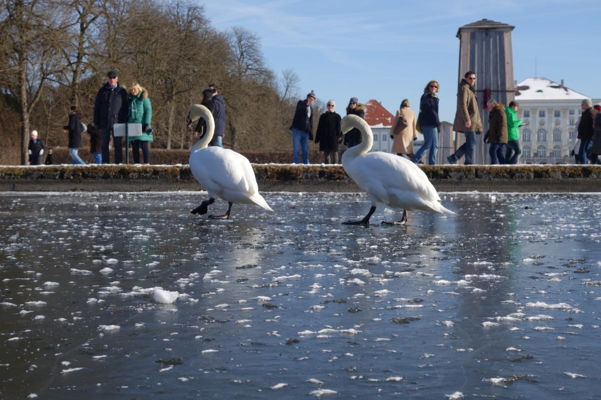 Zwei Schwäne auf dem Nymphenburger Kanal