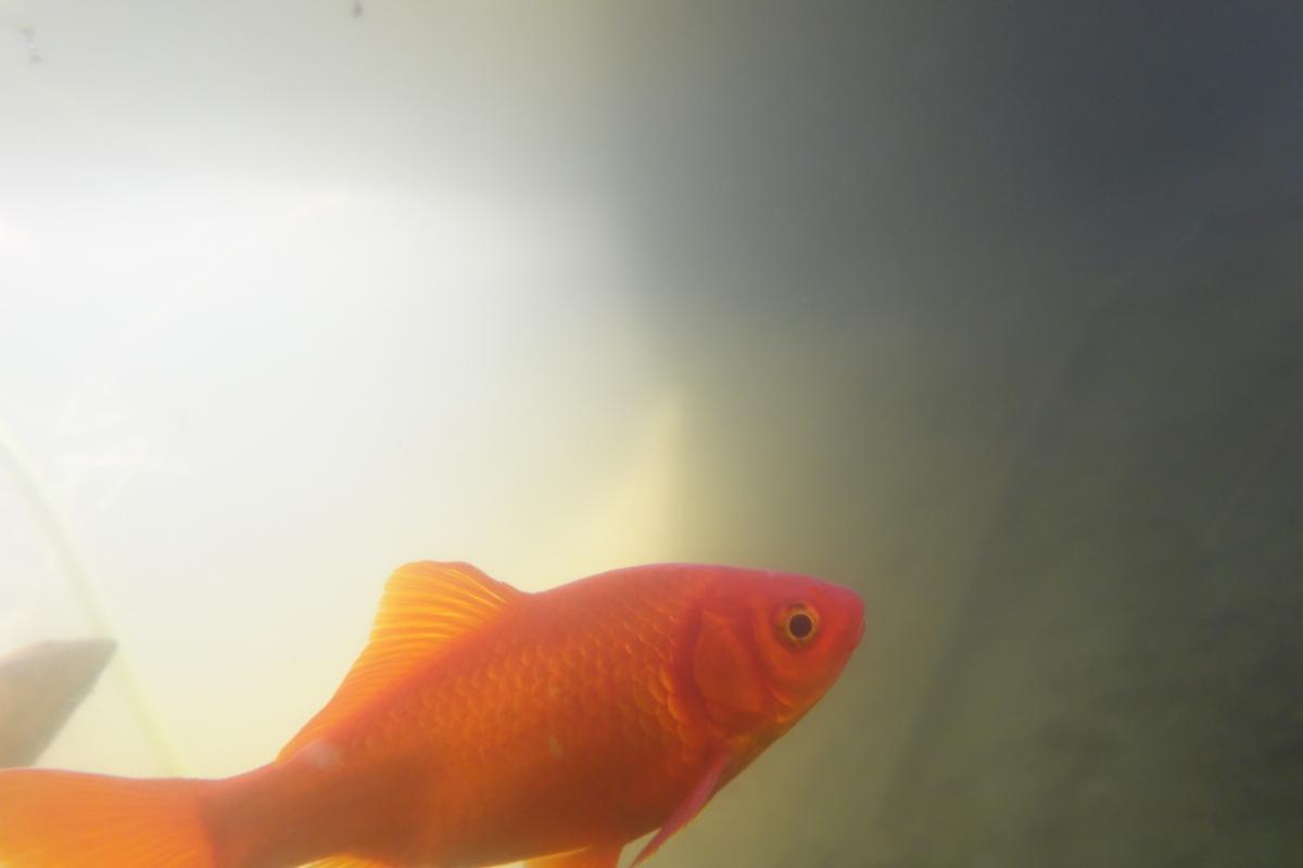 Goldfisch im Teich (Unterwasseraufnahme)