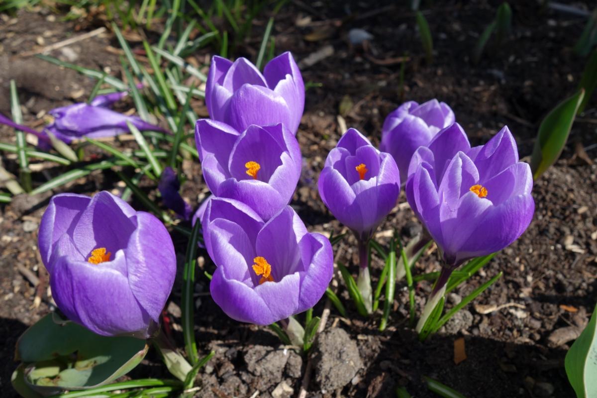 Blaue Krokusblüten