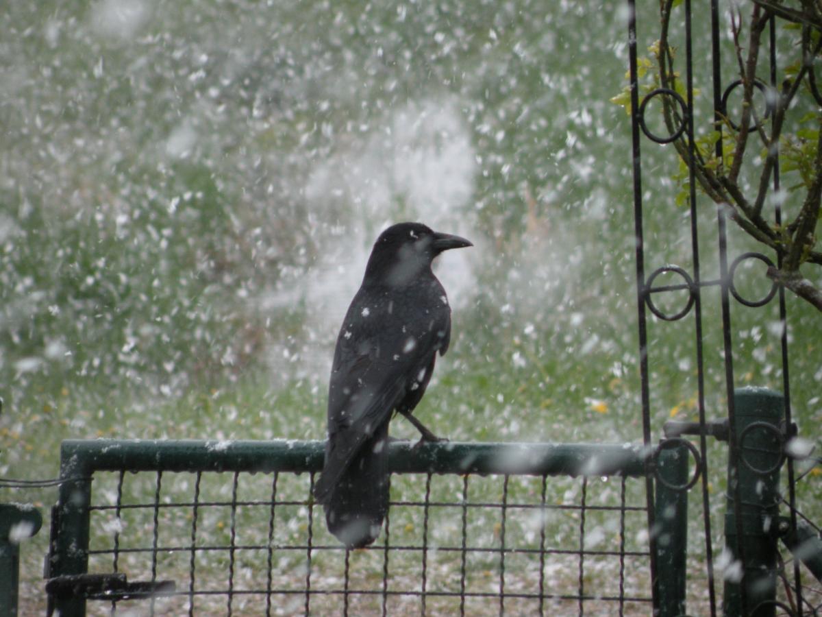 Krähe im Schneegestöber