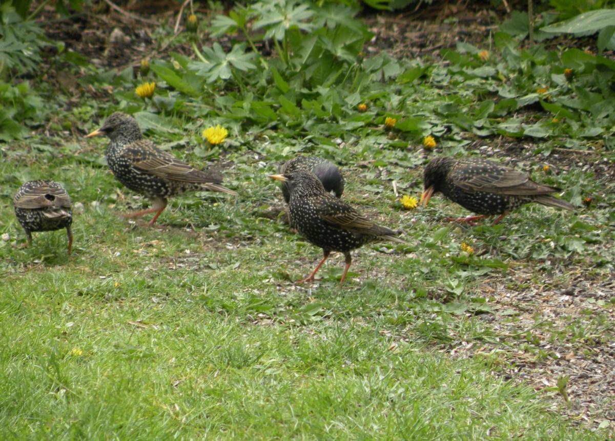 Kleiner Trupp Stare am Vogelhaus
