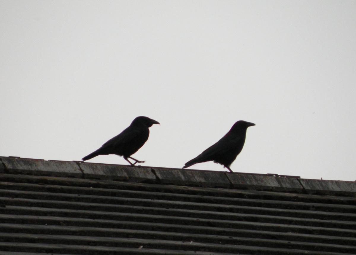 Zwei Krähen auf dem Dachfirst