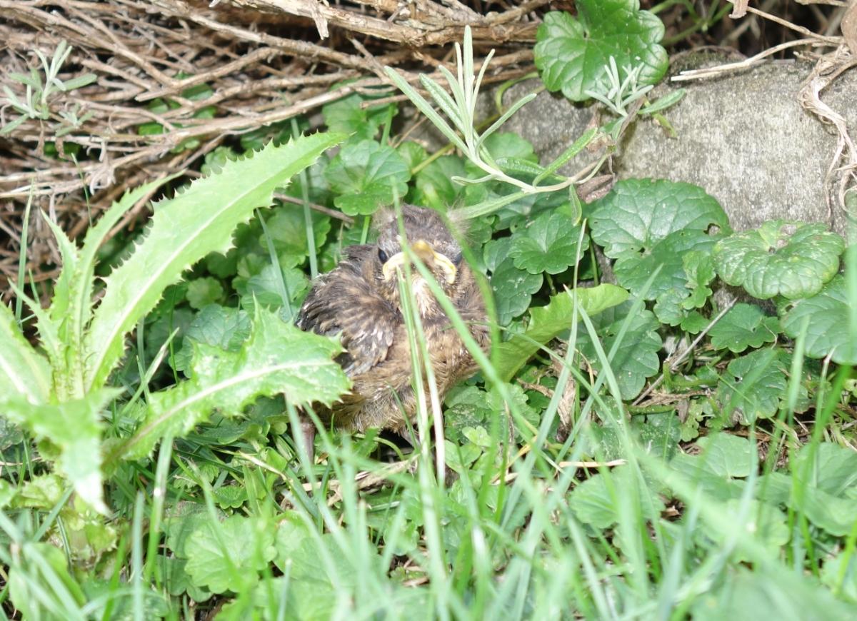 Kleine Amsel, wahrscheinlich aus dem Nest gefallen
