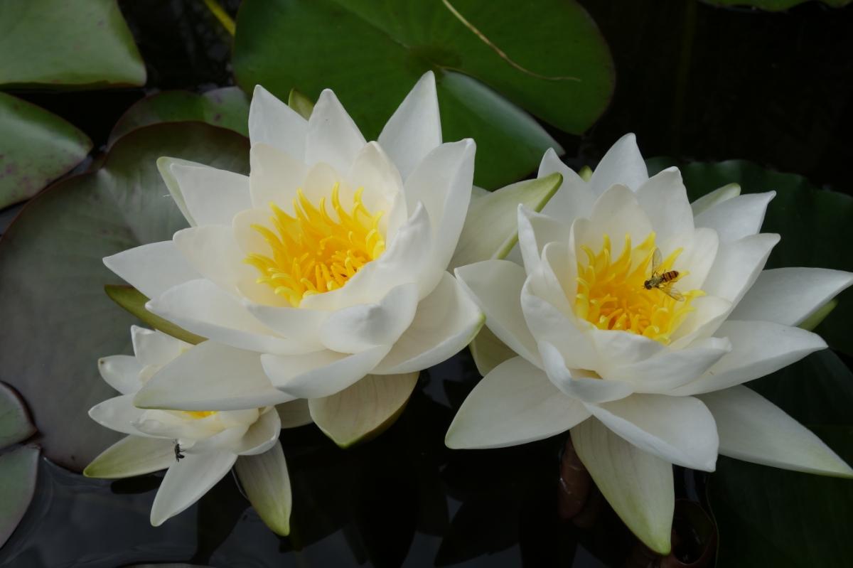 Drei Seerosenblüten