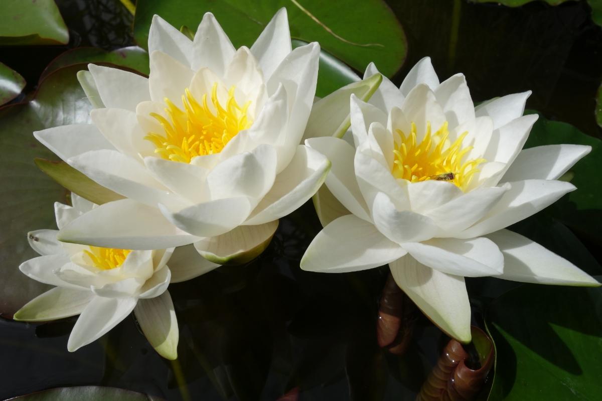 Drei Seerosenblüten von der Sonne beschienen
