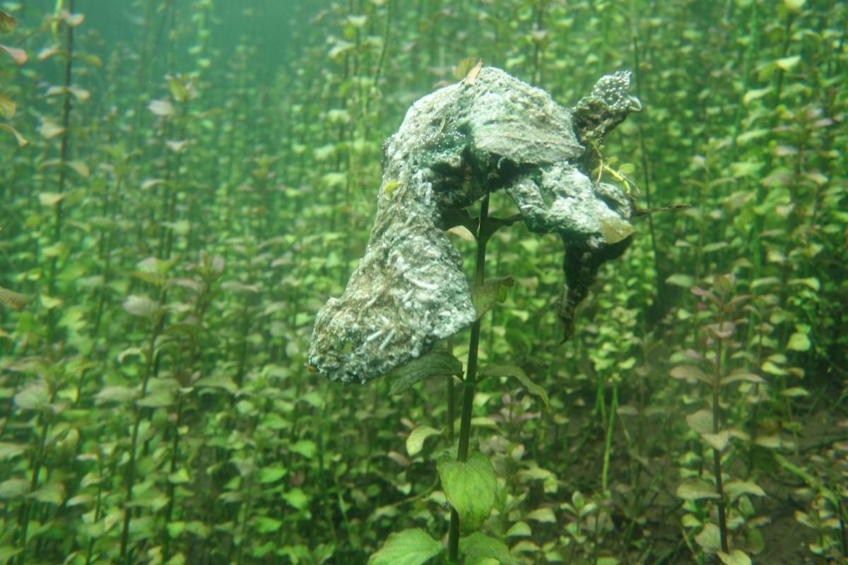 Algen auf Unterwasserpflanzen